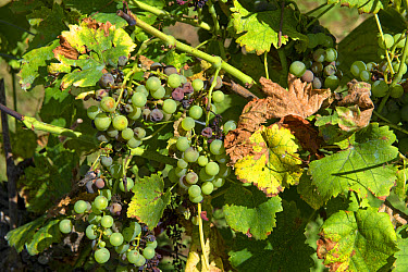 Noble rot or grey mould, Botrytis cinerea, on maturing grapes on the vine with evidence of a fungicidal spay deposit such as Bordeaux mixture on the leaves  -  Nigel Cattlin/ FLPA