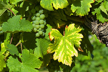 Symptoms of magnesium deficiency on grapevines in fruit in gironde, France, August  -  Nigel Cattlin/ FLPA