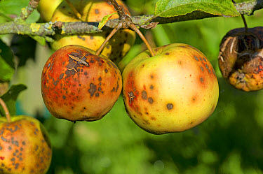Golden delicious apples severely affected by apple scab, Venturia inaequalis  -  Nigel Cattlin/ FLPA