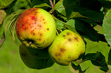Apples severely affected by apple scab, Venturia inaequalis  -  Nigel Cattlin/ FLPA