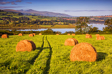 View of farmland with hay bales in meadow at dawn, Llangorse Lake, Brecon Beacons National Park, Powys, Wales, September  -  Allen Lloyd/ FLPA