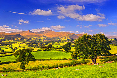 View of farmland with sheep in pasture and hills in distance, Penyfan and Corn Du, Brecon Beacons National Park, Merthyr Tydfil, Wales, September  -  Allen Lloyd/ FLPA