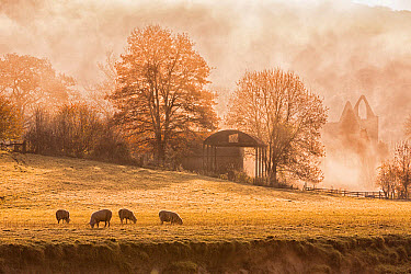 View of sheep grazing in pasture and Cistercian abbey ruins in mist at sunrise, Tintern Abbey, Tintern, Wye Valley, Monmouthshire, Wales, November  -  Allen Lloyd/ FLPA