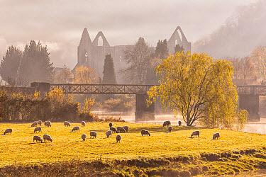 View of sheep flock grazing in pasture and Cistercian abbey ruins at sunrise, Tintern Abbey, Tintern, Wye Valley, Monmouthshire, Wales, November  -  Allen Lloyd/ FLPA