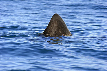 Basking Shark (Cetorhinus maximus) adult, dorsal fin at surface of water, St. Kilda, Outer Hebrides, Scotland, July  -  Andrew Mason/ FLPA