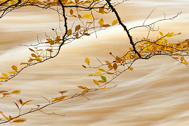 Common Beech (Fagus sylvatica) close-up of leaves in autumn colour, with flowing water in background, River Conwy, Conwy, Wales, November  -  Andrew Mason/ FLPA