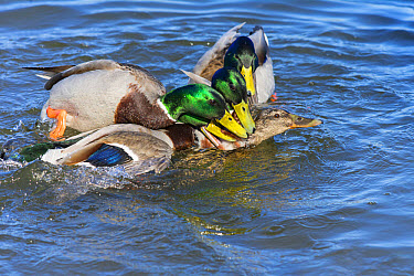 Mallard Duck (Anas platyrhynchos) adult males, group attempting to mate with female on water, Norfolk, England, March  -  Gary K Smith/ FLPA