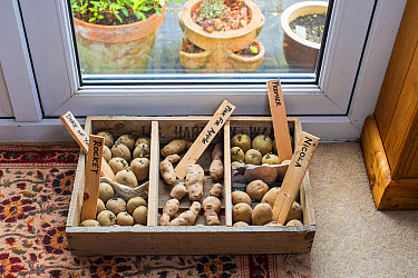 Potato (Solanum tuberosum) 'Duke of York', 'Rocket', 'Pink Fir Apple', 'Premier' and 'Nicola' seed tubers, in chitting tray by lounge french windows, Norfolk, England, February  -  Gary K Smith/ FLPA