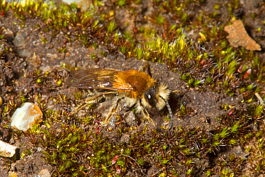 Grey-patched Mining Bee (Andrena nitida) adult male, Norfolk, England, April  -  Roger Tidman/ FLPA