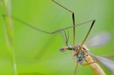 Cranefly (Tipulidae sp) adult, Idle Valley Nature Reserve, Nottinghamshire, England, May  -  Jack Perks/ FLPA
