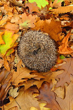 European Hedgehog (Erinaceus europaeus) immature, rescued animal sleeping amongst fallen leaves in garden, Staffordshire, England, October  -  Andrew Mason/ FLPA