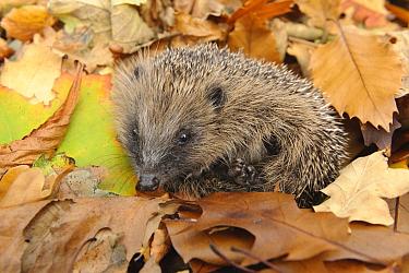 European Hedgehog (Erinaceus europaeus) immature, rescued animal amongst fallen leaves in garden, Staffordshire, England, October  -  Andrew Mason/ FLPA