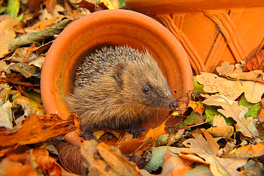 European Hedgehog (Erinaceus europaeus) immature, rescued animal in flowerpot amongst fallen leaves in garden, Staffordshire, England, October  -  Andrew Mason/ FLPA
