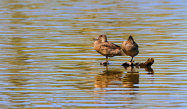 Freckled Duck (Stictonetta naevosa) adult pair, roosting on submerged log in water, Hasties Swamp National Park, Atherton Tableland, Great Dividing Range, Queensland, Australia, October  -  Gianpiero Ferrari/ FLPA