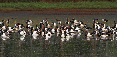 Magpie Goose (Anseranas semipalmata) flock, roosting in shallow water, Hasties Swamp National Park, Atherton Tableland, Great Dividing Range, Queensland, Australia, October  -  Gianpiero Ferrari/ FLPA