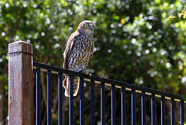 Barking Owl (Ninox connivens) adult, perched on metal railing, Lamington National Park, Queensland, Australia, October  -  Gianpiero Ferrari/ FLPA