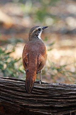 Chestnut-backed Quail-thrush (Cinclosoma castanotus) adult female, perched on log, Red Centre, Northern Territory, Australia, September  -  Gianpiero Ferrari/ FLPA