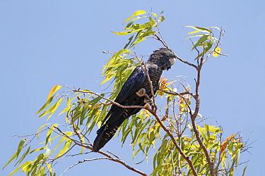 Red-tailed Black-cockatoo (Calyptorhynchus banksii) adult female, perched in eucalyptus tree, Uluru-Kata Tjuta National Park, Red Centre, Northern Territory, Australia, September  -  Gianpiero Ferrari/ FLPA