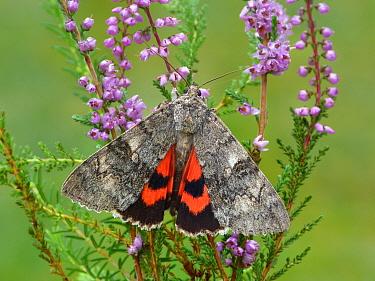 Red Underwing Moth (Catocala nupta) adult, exposing hindwing colour, resting on Common Heather (Calluna vulgaris), Leicestershire, England, September  -  Gianpiero Ferrari/ FLPA