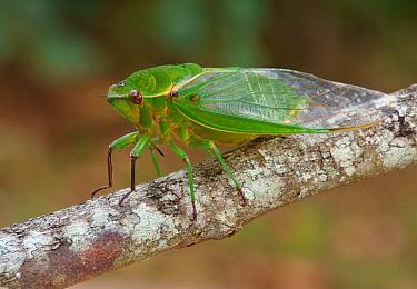 Australian Green Grocer Cicada (Cyclochila australasiae) 'Green Monday' form, adult, resting on twig, Atherton Tableland, Great Dividing Range, Queensland, Australia, October  -  Gianpiero Ferrari/ FLPA