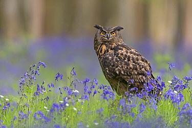 Eurasian Eagle-owl (Bubo bubo) adult, perched amongst Bluebell (Hyacinthoides non-scripta) flowers, Suffolk, England, May (captive)  -  Paul Sawer/ FLPA