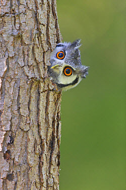 White-faced Scops-owl (Otus leucotis) adult, looking out from hole in tree trunk (captive)  -  Paul Sawer/ FLPA