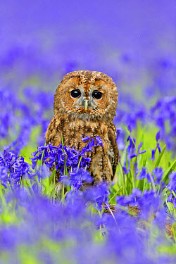 Tawny Owl (Strix aluco) adult, perched on log amongst Bluebell (Hyacinthoides non-scripta) flowers, Suffolk, England, May (captive)  -  Paul Sawer/ FLPA