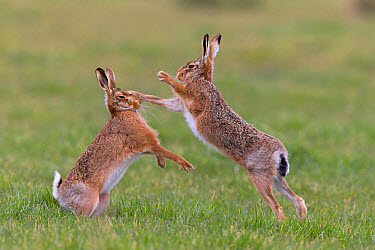 European Hare (Lepus europaeus) adult pair, 'boxing', female fighting off male in grass field, Suffolk, England, March  -  Paul Sawer/ FLPA