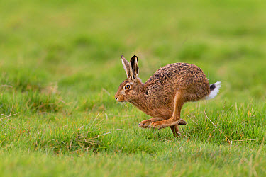 European Hare (Lepus europaeus) adult, running in grass field, Suffolk, England, March  -  Paul Sawer/ FLPA