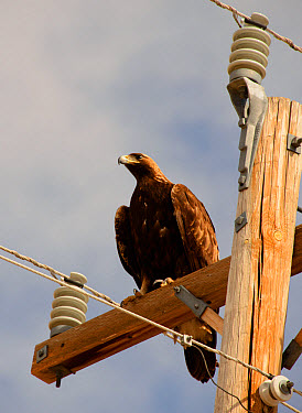 Golden Eagle (Aquila chrysaetos canadensis) juvenile, perched on powerline pole, Pawnee Grasslands, Eastern Plains, Colorado, U.S.A., March  -  Chris & Tilde Stuart/ FLPA