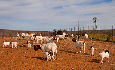Domestic Goat, Boer, adult females and young, herd in camp near farmstead to reduce predation by Black-backed Jackal (Canis mesomelas), Soutpoort, Great Karoo, Northern Cape, South Africa, April  -  Chris & Tilde Stuart/ FLPA