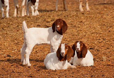 Domestic Goat, Boer, three young, standing and resting, Soutpoort, Great Karoo, Northern Cape, South Africa, April  -  Chris & Tilde Stuart/ FLPA