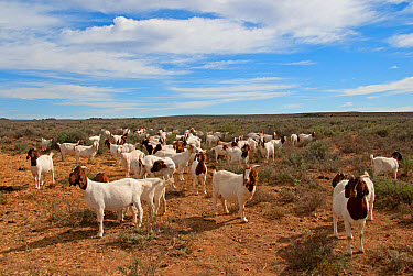 Domestic Goat, Boer, herd standing in natural browse, Soutpoort, Great Karoo, Northern Cape, South Africa, April  -  Chris & Tilde Stuart/ FLPA