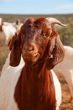 Domestic Goat, Boer, adult female, close-up of head, with ear tag, Soutpoort, Great Karoo, Northern Cape, South Africa, April  -  Chris & Tilde Stuart/ FLPA