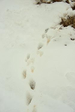 White-tailed Prairie Dog (Cynomys leucurus) footprints in snow, Arapaho National Wildlife Refuge, near Waldon, North Park, Jackson County, Colorado, U.S.A., February  -  Chris & Tilde Stuart/ FLPA