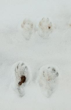 White-tailed Jackrabbit (Lepus townsendii) footprints in snow, Arapaho National Wildlife Refuge, near Waldon, North Park, Jackson County, Colorado, U.S.A., February  -  Chris & Tilde Stuart/ FLPA