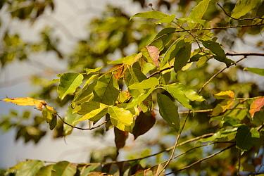 Rainbow Eucalyptus (Eucalyptus deglupta) close-up of leaves  -  Chris & Tilde Stuart/ FLPA