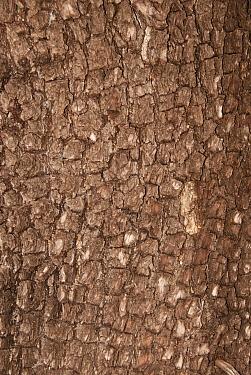 Alligator Juniper (Juniperus deppeana) close-up of bark, Aguirre Springs, Organ Mountains, New Mexico, U.S.A., February  -  Chris & Tilde Stuart/ FLPA