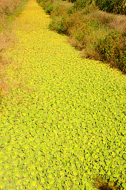 Water Lettuce (Pistia stratiotes) introduced weed species, choking drainage channel, near LaBelle, Hendry County, Florida, U.S.A., December  -  Chris & Tilde Stuart/ FLPA