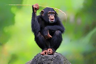 Central Chimpanzee (Pan troglodytes troglodytes) young, drinking, using stem as tool to soak up water from hole in rock (captive)  -  Jurgen and Christine Sohns/ FLPA