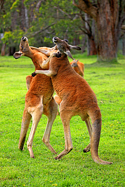 Red Kangaroo (Macropus rufus) two adult males, fighting, South Australia, Australia, October  -  Jurgen and Christine Sohns/ FLPA