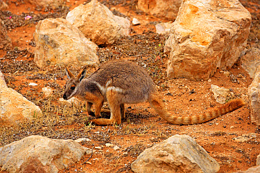 Yellow-footed Rock Wallaby (Petrogale xanthopus) adult, standing amongst rocks, Australia, October  -  Jurgen and Christine Sohns/ FLPA