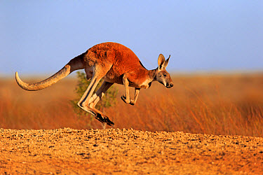 Red Kangaroo (Macropus rufus) adult male, jumping in dry outback, Sturt National Park, New South Wales, Australia, October  -  Jurgen and Christine Sohns/ FLPA