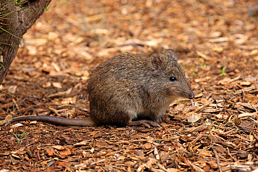 Long-nosed Potoroo (Potorous tridactylus) adult, sitting on ground, South Australia, Australia, October  -  Jurgen and Christine Sohns/ FLPA