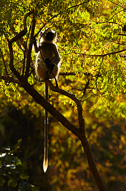 Northern Plains Grey Langur (Semnopithecus entellus) immature, sitting in tree branches, backlight in evening sunlight, Bandhavgarh National Park, Madhya Pradesh, India, February  -  Mark Sisson/ FLPA