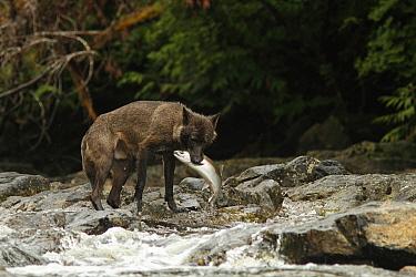 Grey Wolf (Canis lupus) dark morph, adult, feeding on Coho Salmon (Oncorhynchus kisutch) in river, in temperate coastal rainforest, Coast Mountains, Great Bear Rainforest, British Columbia, Canada, Au...  -  Jack Chapman/ FLPA