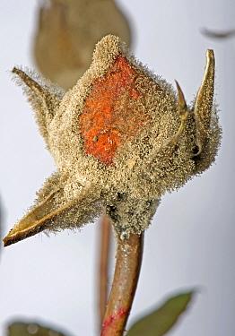 Grey mould, Botrytis cinerea, myclium development on glasshouse reared rose flower buds  -  Nigel Cattlin/ FLPA