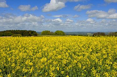 Oilseed rape or canola in late flower on a fine spring day in the Berkshire Downs, England, May  -  Nigel Cattlin/ FLPA