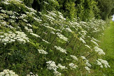Hogweed, Heracleum sphondylium, white umbellifer flowers beside a country path in summer  -  Nigel Cattlin/ FLPA