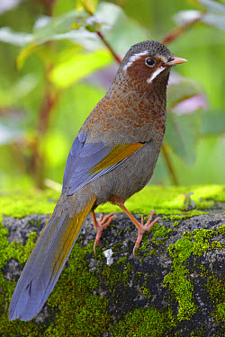 White-whiskered Laughingthrush (Trochalopteron morrisonianum) adult, standing on rock, Anmashan, Central Taiwan, May  -  John Holmes/ FLPA